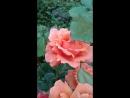 Роза Изи Даз Ит