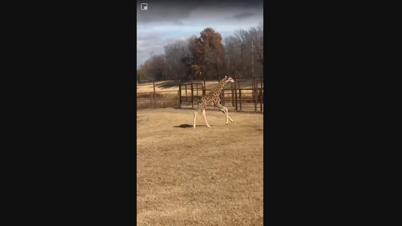 Ohe the giraffe at the Tulsa Zoo has a serious case.