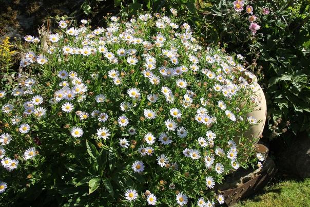 калимерис калимерис- многолетнее красивоцветущее декоративнолиственное травянистое растение из семейства астровые. все виды калимерисов являются травянистыми многолетниками и имеют несколько