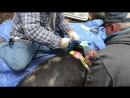 Feral Pig Research And Management Documentary