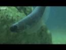 Жемчужная рыба прячется внутри морского огурца