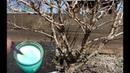 Облейте этим кусты крыжовника весной в марте апреле и мае от всех вредителей и болезней!