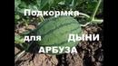 Дыни и арбузы в Сибири с подкормками ФЛОРА-С