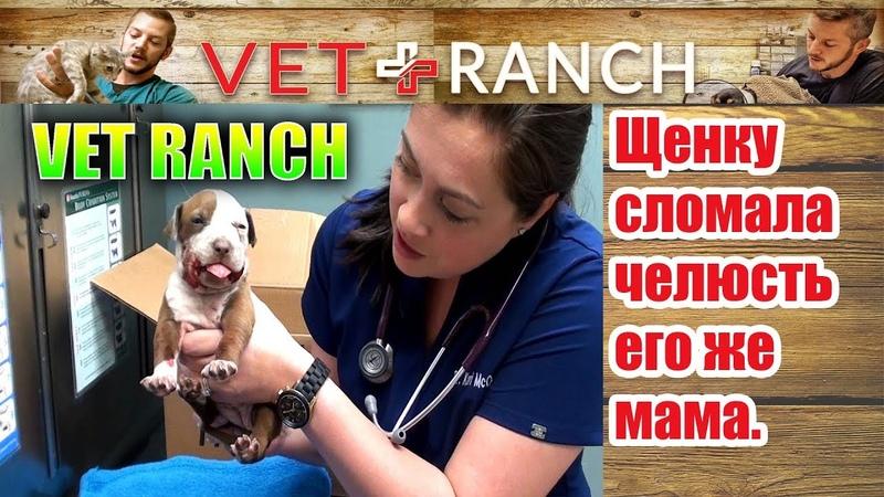 Vet Ranch на русском - Щенку сломала челюсть его же мама / Broken Jaw Puppy Rescued