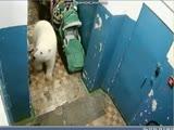 Белый медведь в подъезде. Архангельская область.