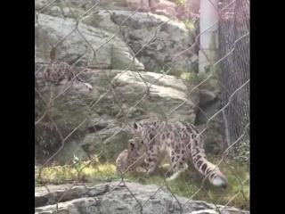 ママさん驚きすぎ。  Snow leopard cubs ruining momma's relaxation.