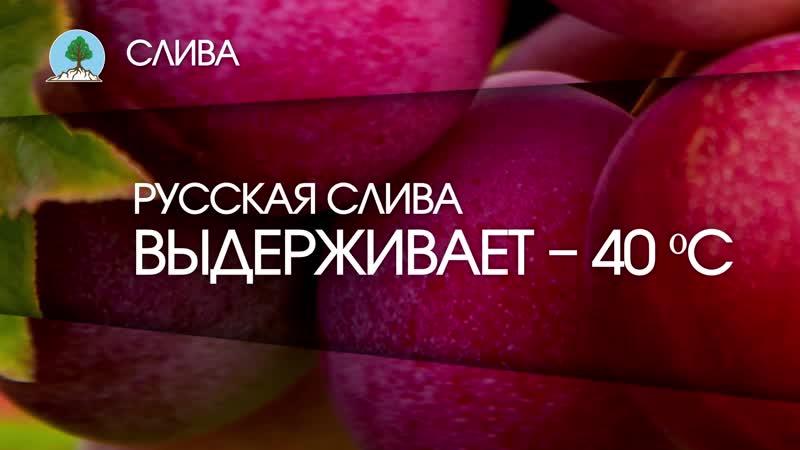 СЛИВА. Питомник Сады Урала