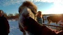 Верблюд на конюшне видео про Сонечку