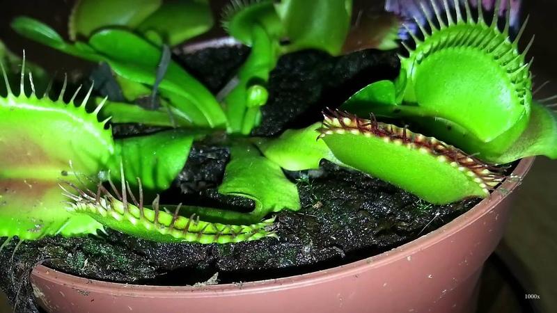 Венерина мухоловка - хищное растение ест насекомых. Заказать на Aliexpress