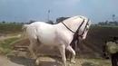 конь красиво танцует под музыку
