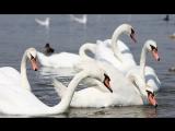 «Лебединое озеро» по-крымски