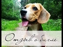 Порода собак бигль Отзыв владельца о бигле