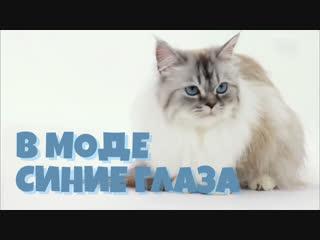 Самая популярная порода кошек