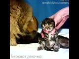 Шотландские котята питомник Melody Soul г. Казань