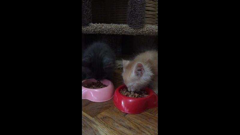 Обед 🥙 у котят Мейн-Кун