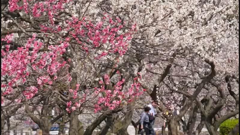 Япония встречает весну