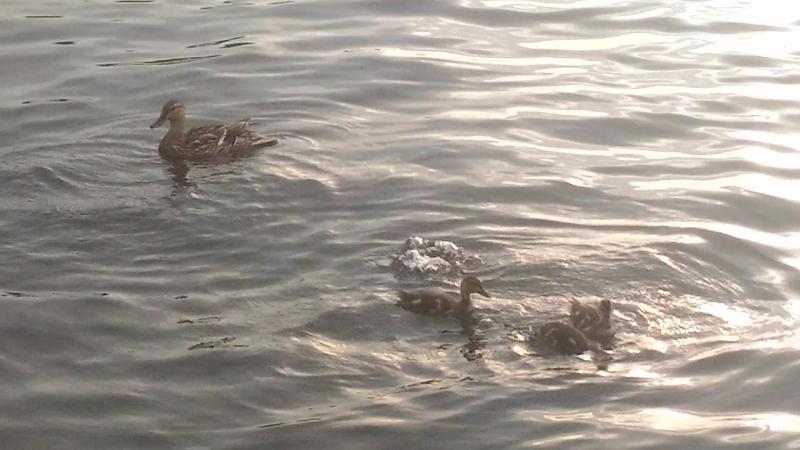 купание маленьких утят