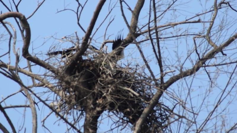 Ворона глумиться над белобрюхим орланом