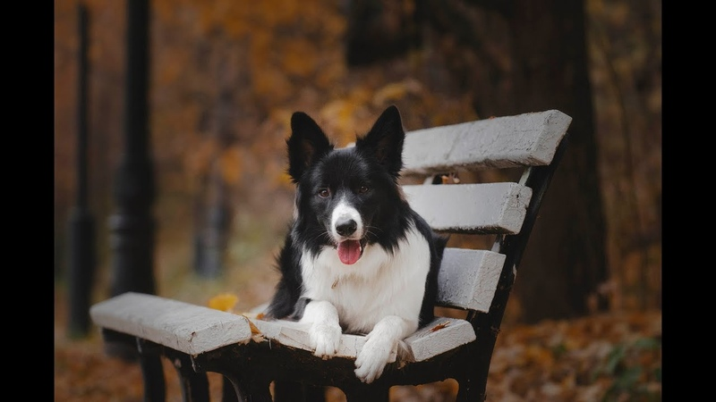 Border collie Bif autumn 2018