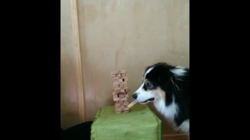 Dog Playing Jenga
