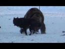 Рэм и Рой работа по медведю (диплом 1ст. 94б)