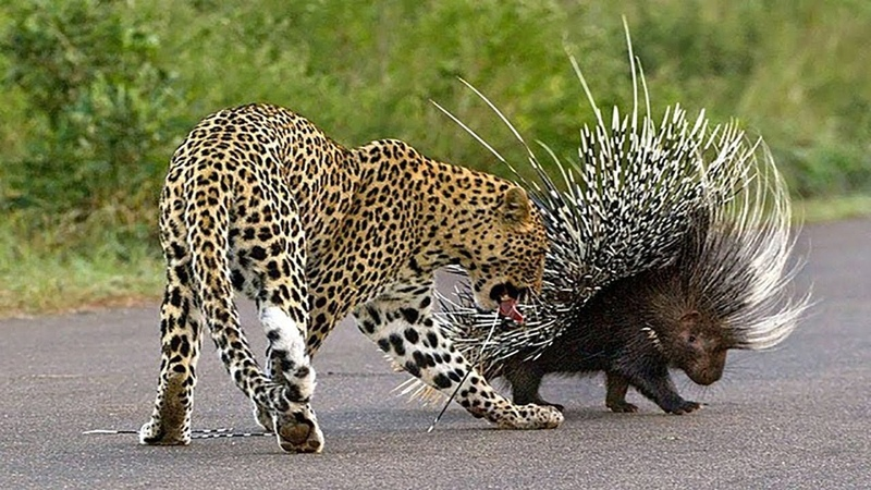 Leopard Attacks Porcupine And Suffers From The Thorns Hit Its Body In The South Africa