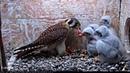 American kestrel / Воробьиная пустельга / Falco sparverius