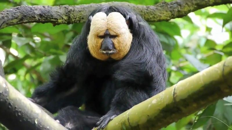 Beyaz Yüzlü Maymun- SAKİ. (Saki Monkeys)