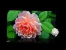 Все цветы. - Николай Басков-cvety--zhabota--scscscrp