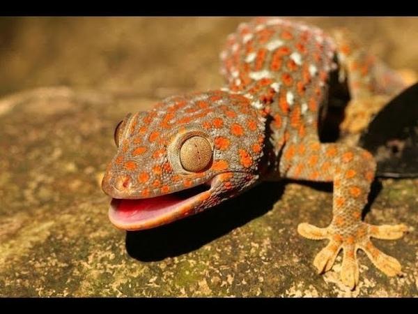 Геккон токи из Камбоджи (Gekko gecko)