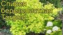 Спирея березолистная Торголд. Краткий обзор, описание характеристик spiraea betulifolia Torgold