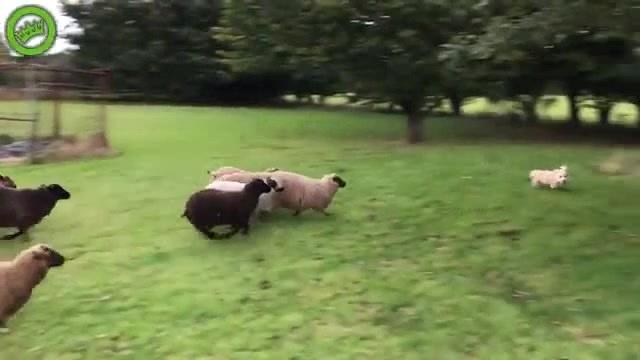 Пёсик vs Овцы || Dogs vs Speeps