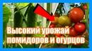 Как вырастить томаты в теплице, в грунте Простой способ выращивания помидоров в теплице в августе.