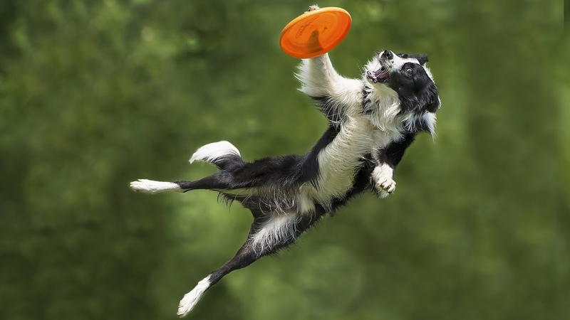 Border collies show off their talent in a Frisbee contest