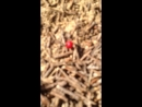Муравьи пытаются тащить в муравейник в гору ягоду брусники