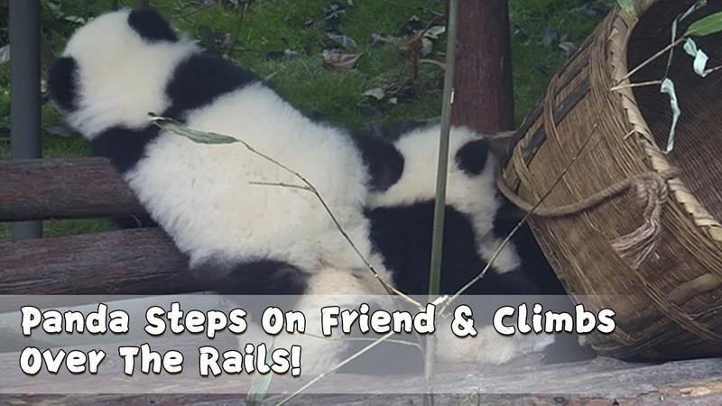 Panda Steps On Friend Climbs Over The Rails iPanda
