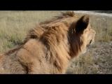 Львы Олежка и Филя только рядом с папой чувствуют себя в безопасности _))