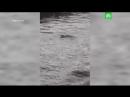 Чайка топит голубя в канале Грибоедова