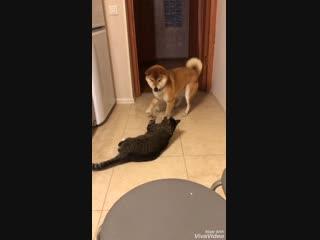 Сиба и кот
