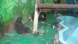 Шимпанзе Филя и Люся занимаются ремонтом вольера. 05.01.19 г.