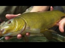CATCH MORE TENCH on the Feeder!