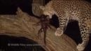 Леопард заботится о детёныше обезьяны