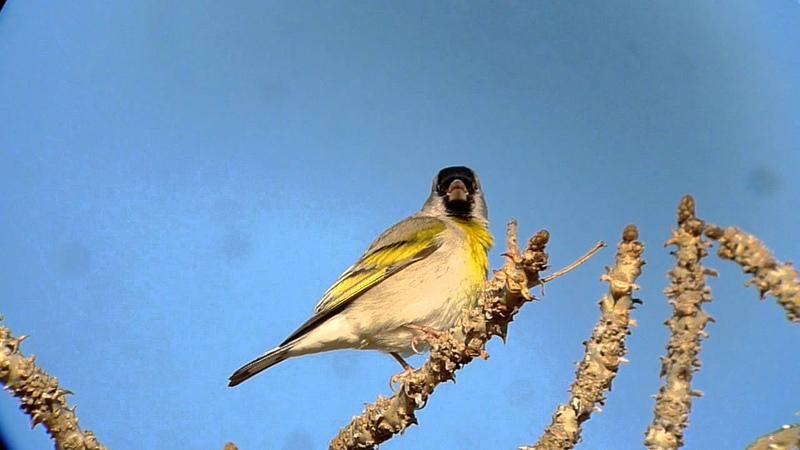 Lawrence's goldfinch / Маскированный чиж / Carduelis lawrencei