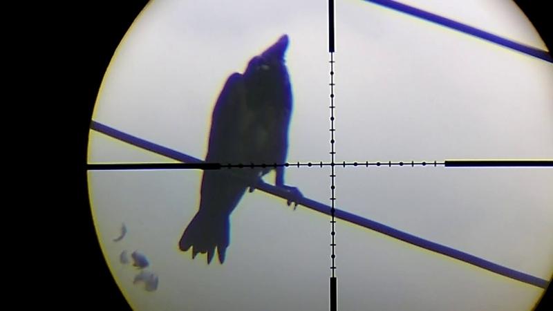 охота на сорок ворон ч7 crow hunting magpie , pcp pistol p7