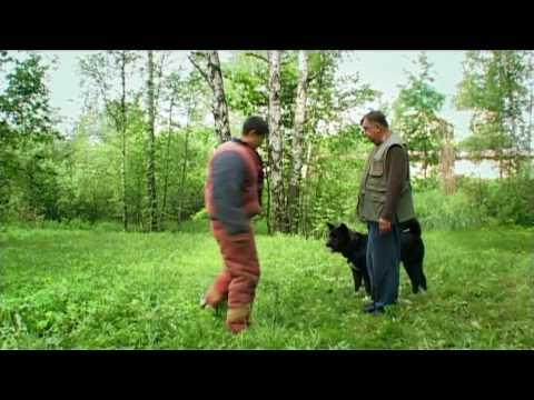 Американская акита на прогулке (American Akita in Action 2)