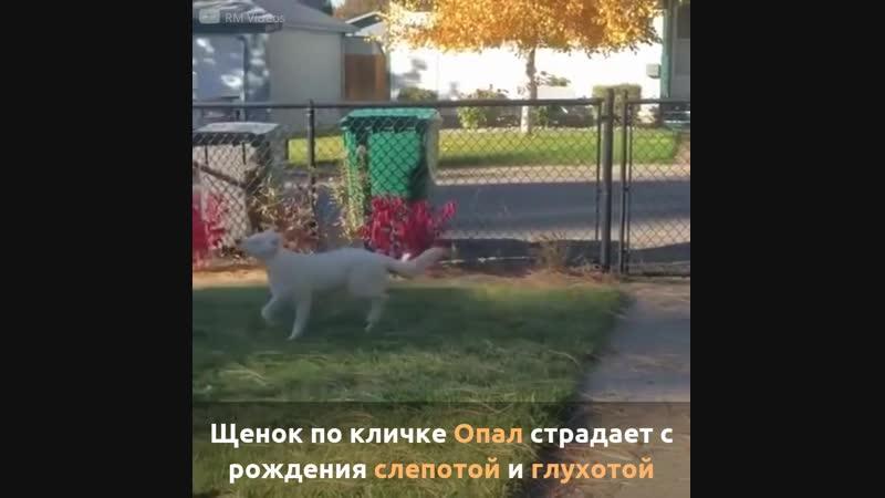 Глухой и слепой пес