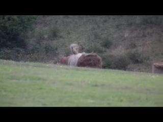 Олень развлекается со стогом сена