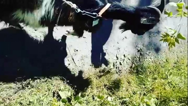 козаа