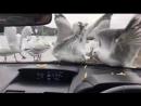 Бессердечное издевательство над чайками