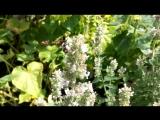 Пчела собирает мелисовую пыльцу